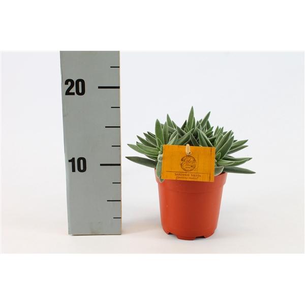 <h4>Crassula tenelli 10,5 cm</h4>