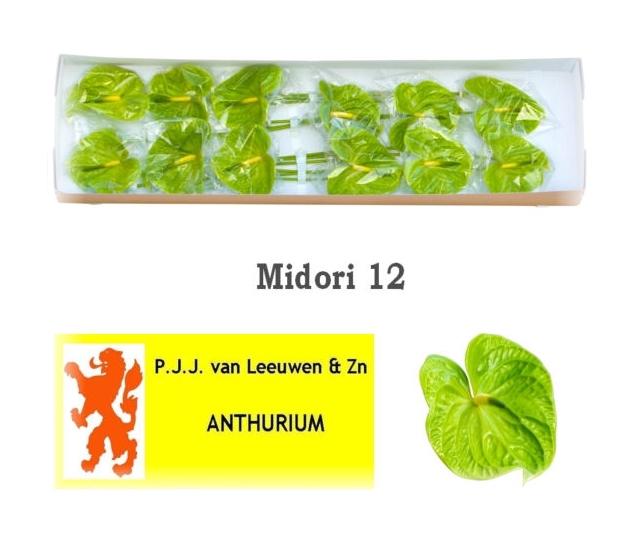 <h4>ANTH A MIDORI</h4>