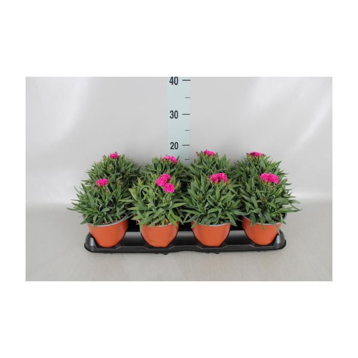 <h4>Dianthus  'Peman'</h4>