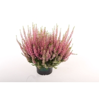 <h4>Calluna vulgaris Beauty Lady® Rose</h4>