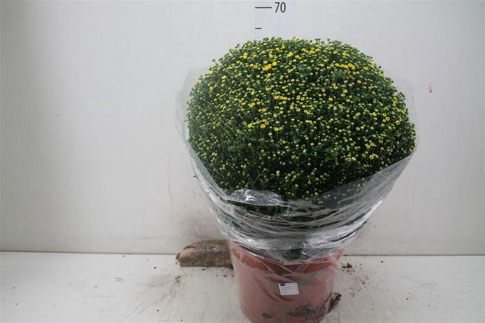 <h4>Chrysanth Gr Bol 70cm Geel Xl</h4>