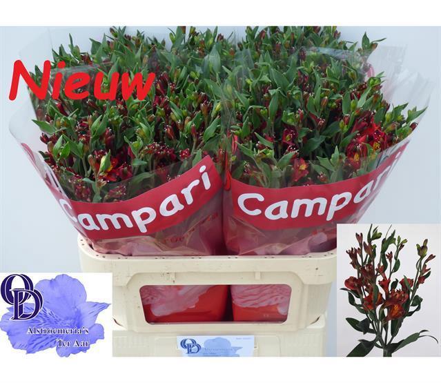<h4>Alstroemeria florinca Campari</h4>