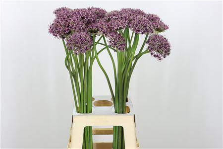 <h4>Allium Starlight</h4>