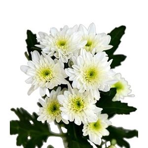 Chrysanthemum spray bonita blanca