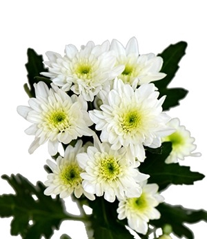 <h4>Chrysanthemum spray bonita blanca</h4>