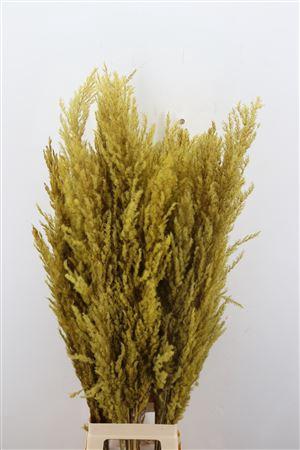 <h4>Dried Pampas Gras Geel ( 8 Stem )</h4>