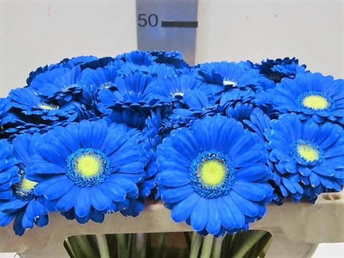 <h4>Ge Mi G Blauw</h4>