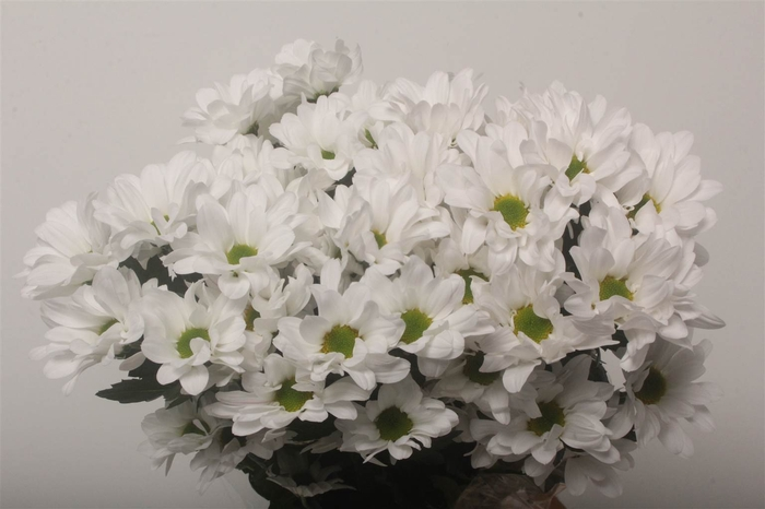 <h4>Chrysant T Kennedy / Chic</h4>