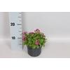 vaste planten 12 cm Arabis caucasuca Deep Rose