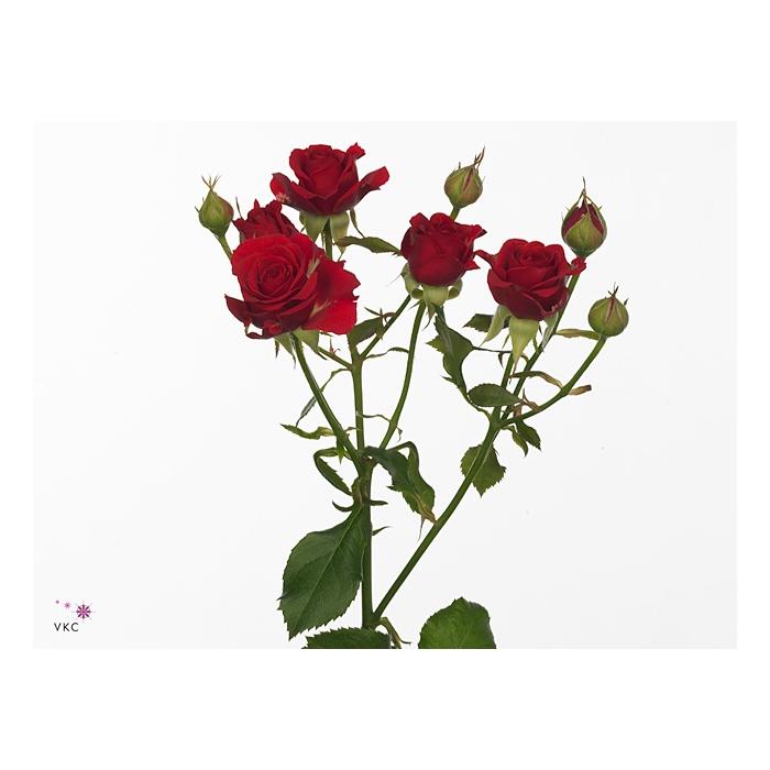 <h4>多头玫瑰 米拉贝尔</h4>