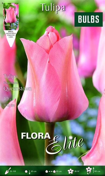 <h4>Z Tulipa Fosteriana Queenstown</h4>