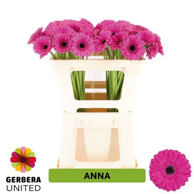 <h4>GE MI ANNA</h4>