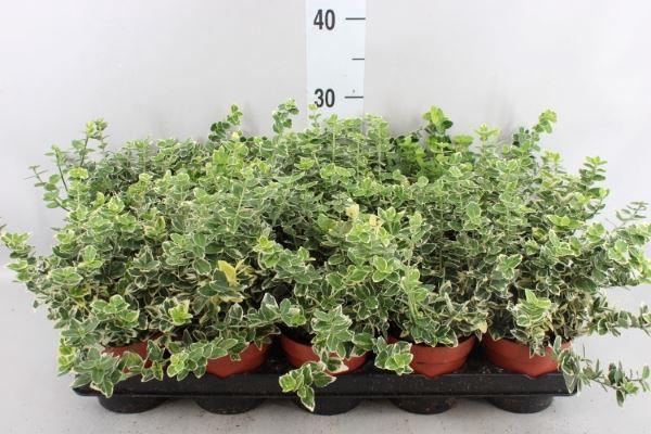 <h4>Euonymus fortunei 'Emerald Gaiety'</h4>