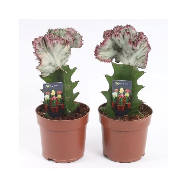 <h4>Cactus euphorbia lactea in 10,5cm pot</h4>