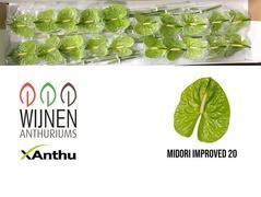 Anthurium Midori improved