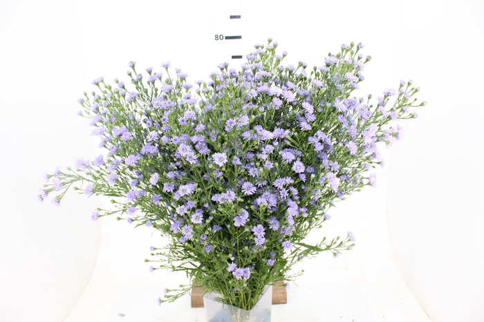 <h4>ASTER LILAS</h4>