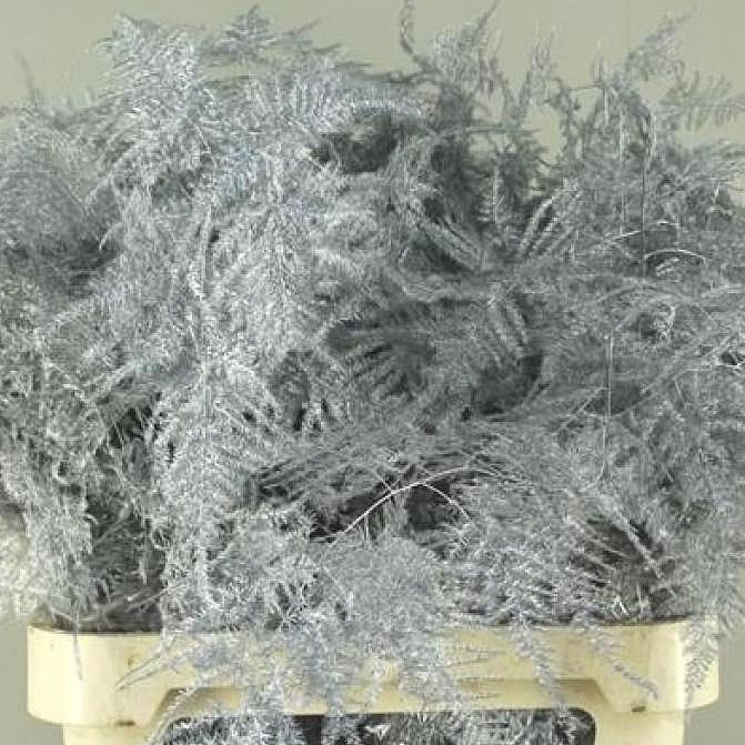 <h4>Esparraguera plumosa teñida plata</h4>