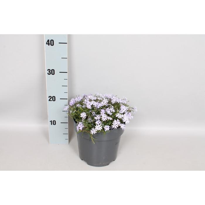 <h4>vaste planten 19 cm  Phlox Subulata Blue Dark Center</h4>