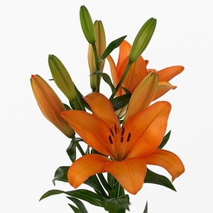 Lilium LA Honesty
