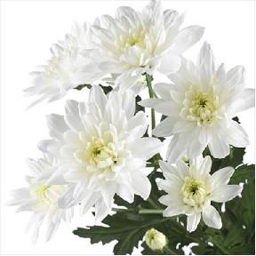 <h4>Chrysanthemum spray baltica blanca</h4>