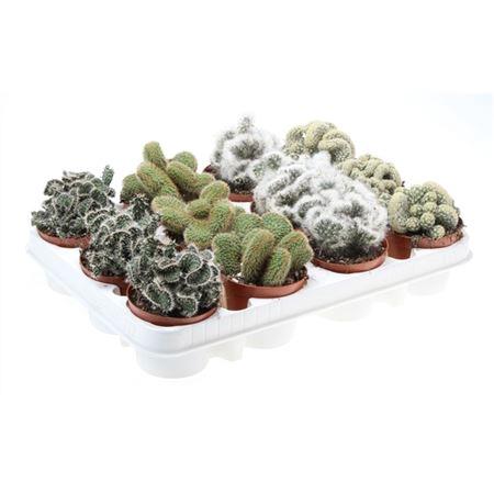 <h4>Cactus Gemengd Cristaat</h4>