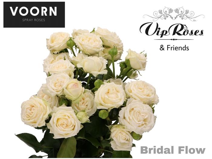 <h4>R TR BRIDAL FLOW</h4>