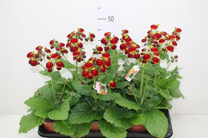 <h4>Calceolaria Cal Red</h4>