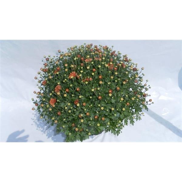 <h4>Chrysanthemum Jasoda Dark Orange</h4>