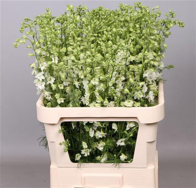 <h4>Delphinium ajacis white</h4>
