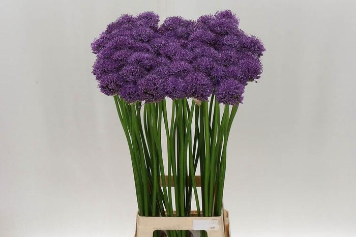 Allium Gladiator***