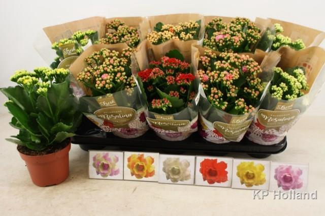 <h4>Kalanchoe Calandiva mix 6 colors 12Ø 27cm</h4>