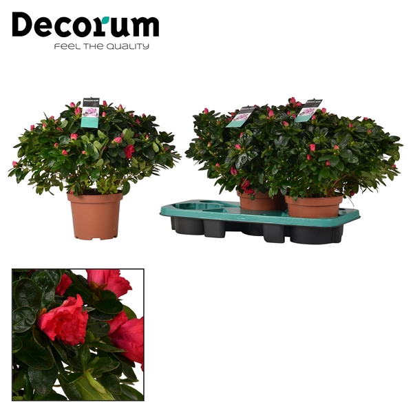 <h4>Azalea 17 cm Jimmy Decorum</h4>