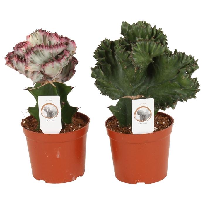 <h4>Euphorbia   ...mix</h4>