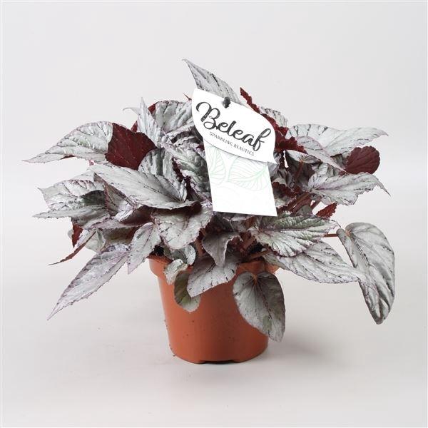 <h4>Begonia Beleaf Arctic Breeze</h4>