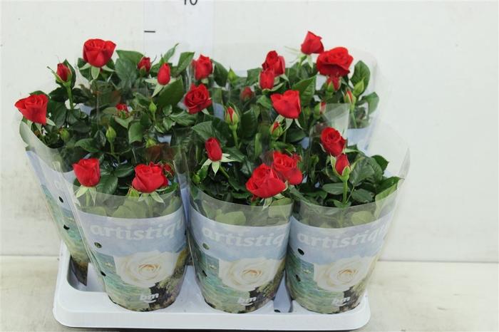 <h4>Rosa Artistique Red</h4>