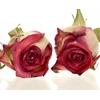 Rose Blush red 3,5-4cm