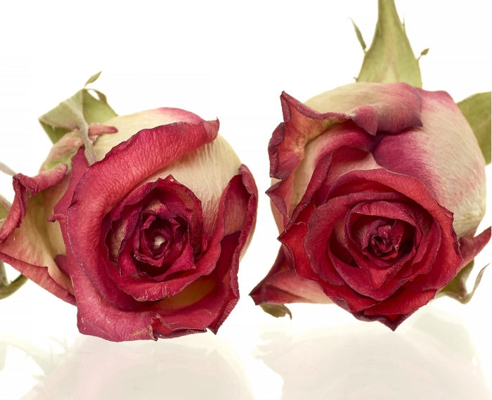 <h4>Rose Blush red 4,5-5cm</h4>