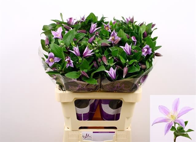 <h4>Clematis Star River</h4>