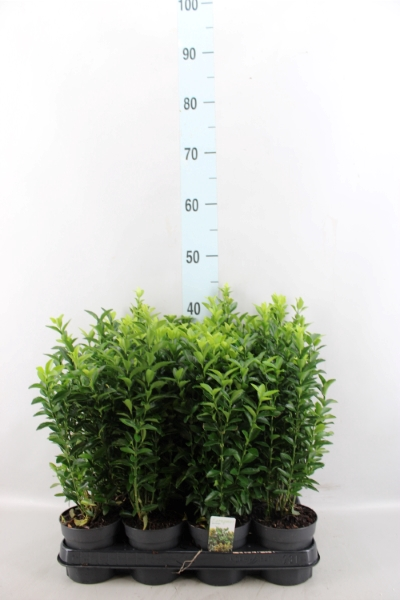 <h4>Euonymus japon. 'Green Spire'</h4>