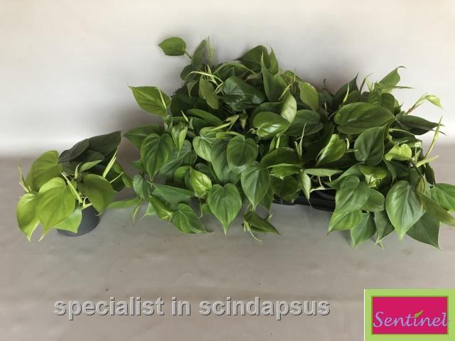 <h4>Philodendron Scandens 12Ø 15cm</h4>