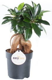 <h4>Ficus Microcarpa Ginseng 6Ø 15cm</h4>