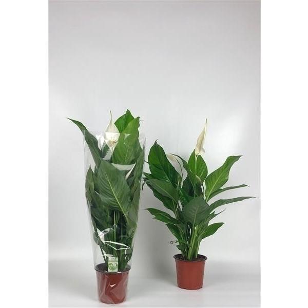 <h4>Spathiphyllum Sweet Silvio 14cm Blanke hoes</h4>