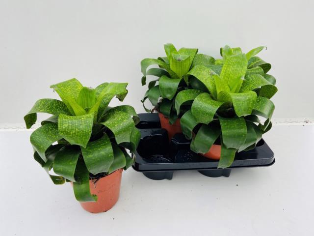 <h4>Vriesea fenestralis 15Ø 40cm</h4>