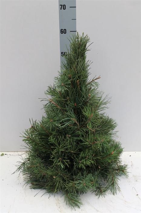 <h4>Pinusboom 60 Cm Naturel</h4>