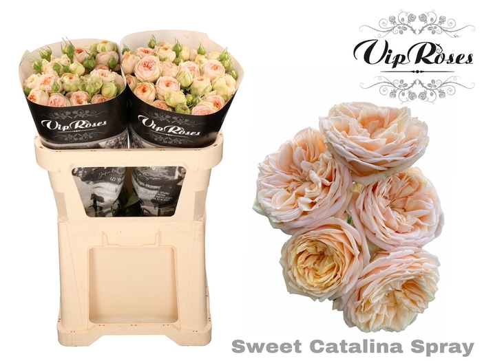 <h4>R TR SWEET CATALINA+</h4>