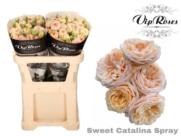 R TR SWEET CATALINA+