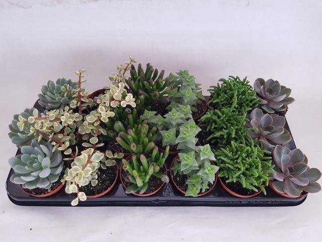 <h4>Succulent mix 6 varieties 8,5Ø 15cm</h4>
