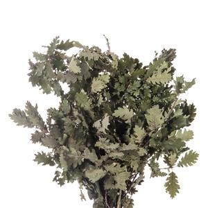 Quercus / Oak Green