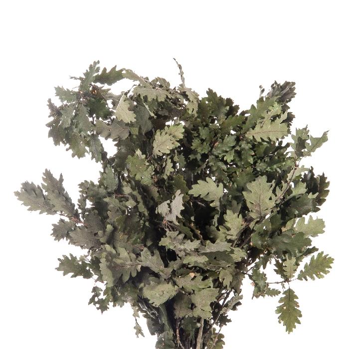 <h4>Quercus / Oak Green</h4>