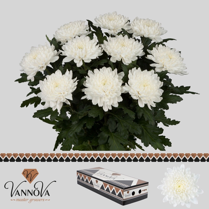 <h4>Chrysanthemum PL 'Gagarin'</h4>